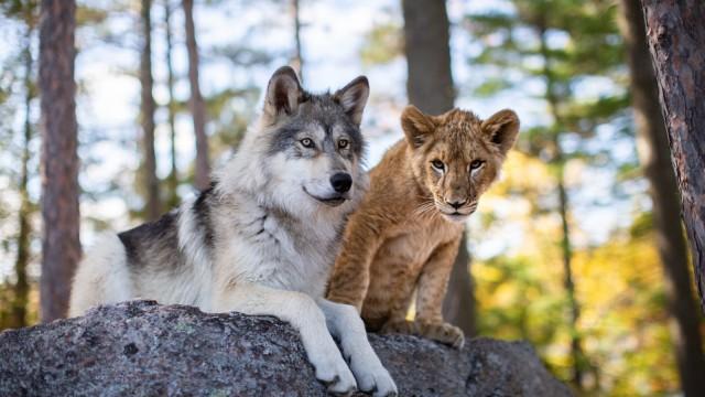 Vlk a lev (2021)
